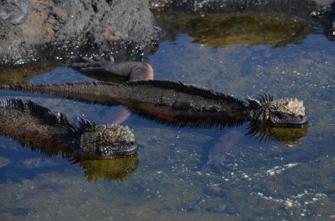 Marine Iguanas cooling off