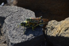 Mating Galapagos Painted Locusts