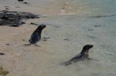 Playful Sea Lions