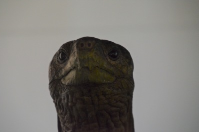 ET phone home - Lonesome George (Taxidermied)