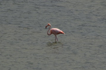 Lonesome flamingo