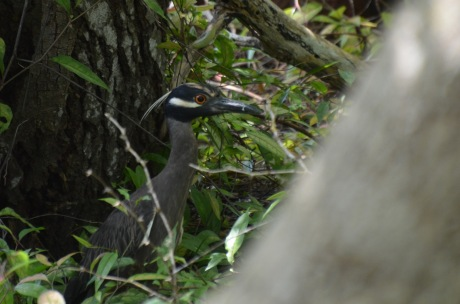 (confused) Night Heron