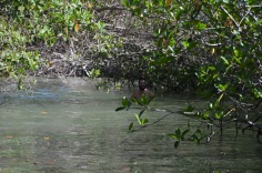 Kadin swimming amongst the mangroves
