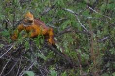 Land Iguana in a tree
