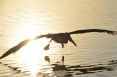 Pelican finding breakfast