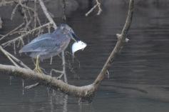 Heron catches breakfast