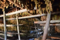 The drying tobacco