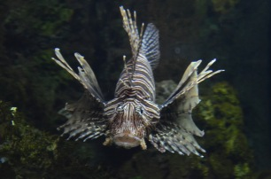 Roar... Lionfish