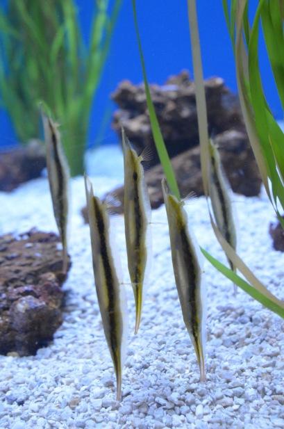 Fish pretending to be seaweed