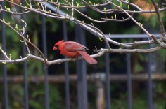 Red Cardinal in a tree