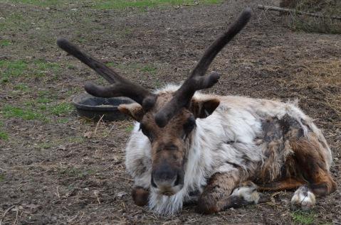 Reindeer (zoo)