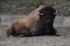 Big Bison (zoo)