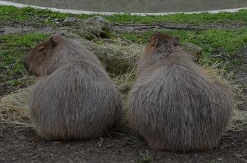 Capybaras (zoo)