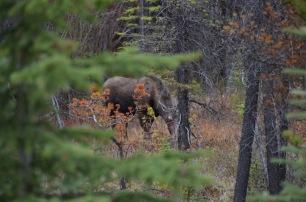 Is it a moose?