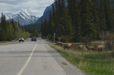 Elk in town