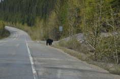 Bear on the road