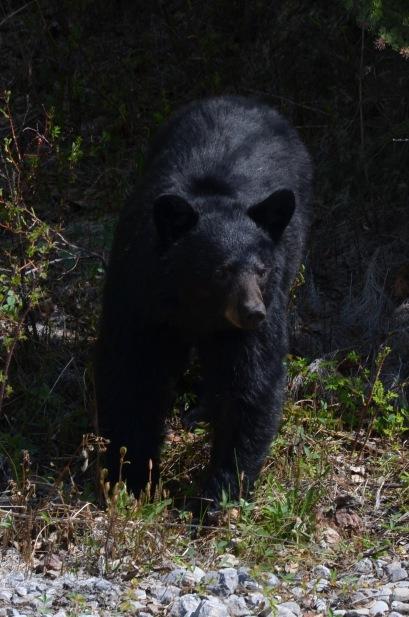 Curious little black bear