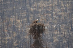 Bald Eagle in the nest