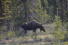 There's a moose!