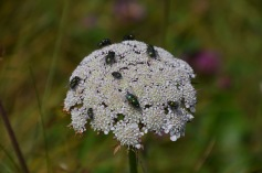 Flies on Carrot Weed