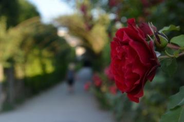 Kadin focusing on the rose