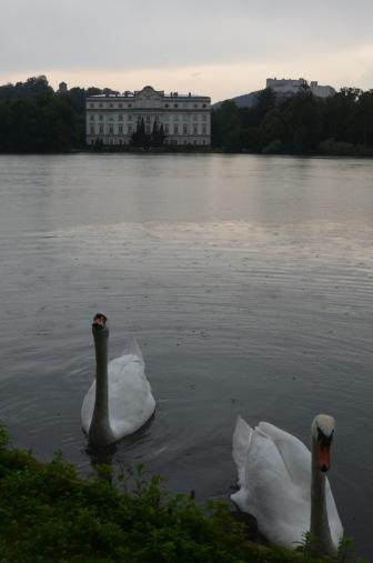 Photogenic Swans