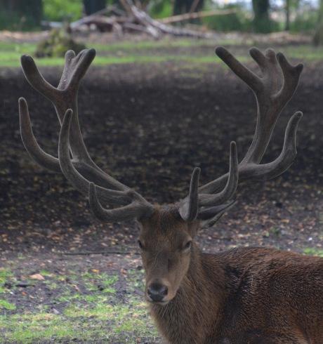 'Rain'deer