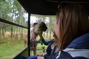 Feeding a moose