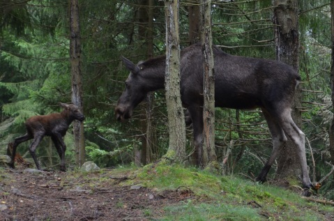 1 week old calf with mumma moose