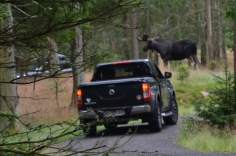 Giving way to the moose