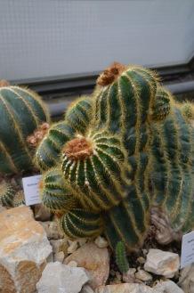 Knobbly cactus