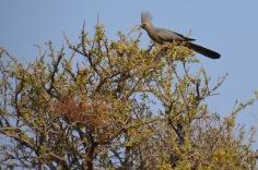 Grey Lourie - 'Go-away-bird'
