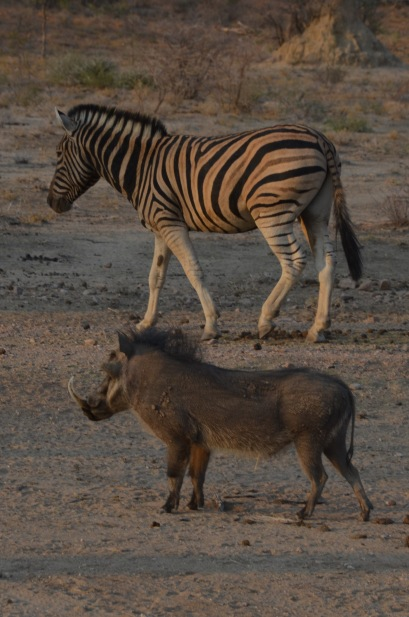 Zebra and warthog going for a walk