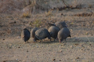Guinea Fowls -'Government Chickens.'