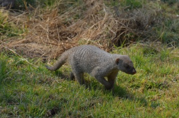 Mongoose!