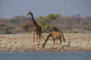Giraffe having a drink