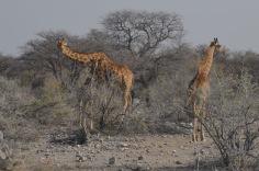 Curious Giraffes