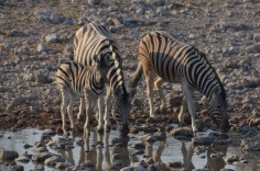 Thirsty Zebra
