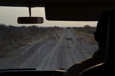 Springbok crossing