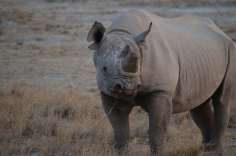 Horn cut to prevent poaching