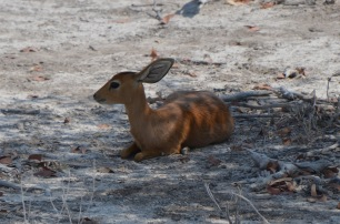Steenbok getting some shade