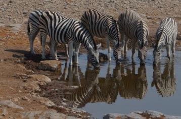 8 and a half Zebra