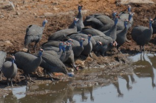 Thirsty guinea fowl