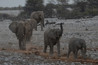 Elephants coming for their evening drink