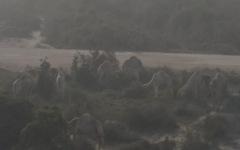 Camels in the sandstorm