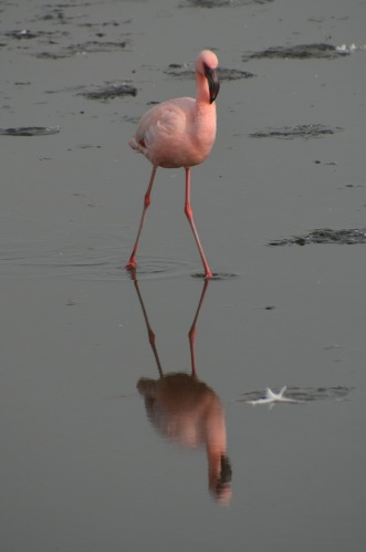 Reflected flamingo