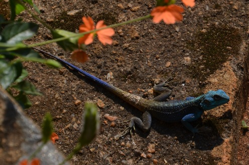Lizard in the garden