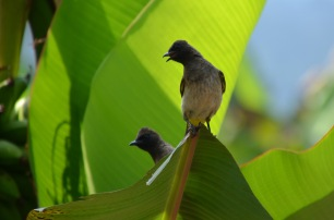 Birds in the banana tree