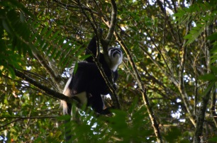 White and black colobus