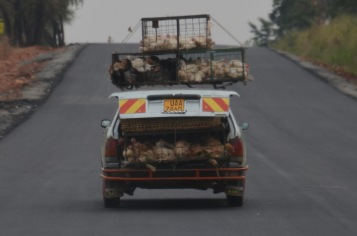 Transporting chickens